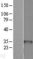NBL1-07941 - BCDIN3D Lysate
