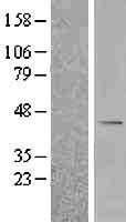 NBL1-07943 - BCKDHB Lysate
