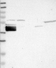 NBP1-86025 - Bcl-2-like 12