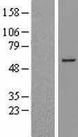 NBL1-07952 - BCL6B Lysate