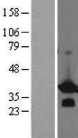 NBL1-07954 - BCL7B Lysate