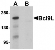 NBP1-76542 - Bcl-9-like protein
