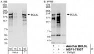NBP1-71907 - Bcl-9-like protein