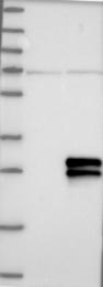 NBP1-90001 - CD269 / BCMA
