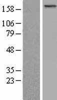 NBL1-07956 - BCOR Lysate
