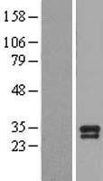 NBL1-07962 - BDNF Lysate
