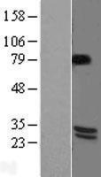 NBL1-07965 - BDNF Lysate