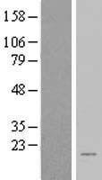 NBL1-07971 - BEX2 Lysate