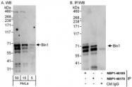 NBP1-46170 - BIN1 / AMPHL