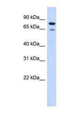 NBP1-58133 - RMI1 / BLAP75