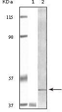 NBP1-47499 - BLK