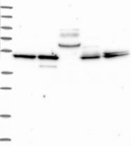 NBP1-88640 - Bleomycin hydrolase