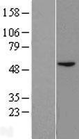 NBL1-07990 - BLMH Lysate