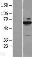 NBL1-07991 - BLNK Lysate