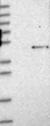 NBP1-83082 - Golgin-45