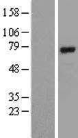 NBL1-07723 - BMAL1 Lysate
