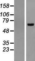 NBL1-07724 - BMAL1 Lysate