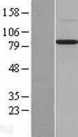NBL1-07998 - BMP1 Lysate