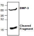 NBP1-45398 - BMP3