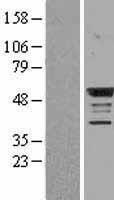 NBL1-08002 - BMP4 Lysate