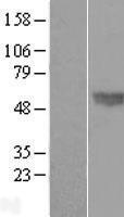 NBL1-08003 - BMP4 Lysate