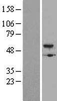 NBL1-08004 - BMP5 Lysate