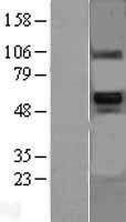 NBL1-08005 - BMP6 Lysate