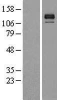 NBL1-08009 - BMPR2 Lysate