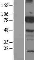 NBL1-08010 - BMX Lysate