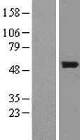 NBL1-08013 - BNIP2 Lysate