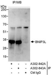 NBP1-47308 - BNIP3L / BNIP3A