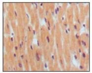 NBP1-47507 - Natriuretic peptides B