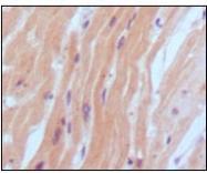 NBP1-47508 - Natriuretic peptides B