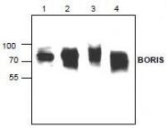 NBP1-45409 - CTCFL / BORIS
