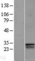 NBL1-09919 - BP1 Lysate