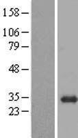 NBL1-08019 - BPGM Lysate