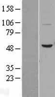 NBL1-08020 - BPI Lysate