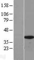 NBL1-11607 - BRAF35 Lysate