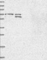 NBP1-91705 - BRAP / RNF52