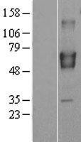 NBL1-08022 - BRAP Lysate