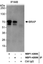 NBP1-42695 - BRAP / RNF52