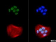 NB100-598 - BRCA1 / RNF53