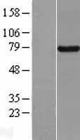 NBL1-08024 - BRD7 Lysate