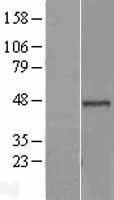 NBL1-08026 - BRE Lysate