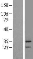 NBL1-08028 - BRMS1 Lysate