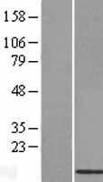 NBL1-08030 - BRP44L Lysate