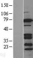 NBL1-08032 - BRSK2 Lysate