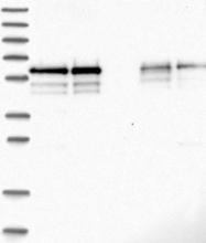 NBP1-84644 - BSDC1