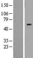 NBL1-17972 - BTBD15 Lysate
