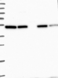 NBP1-84214 - BTBD3